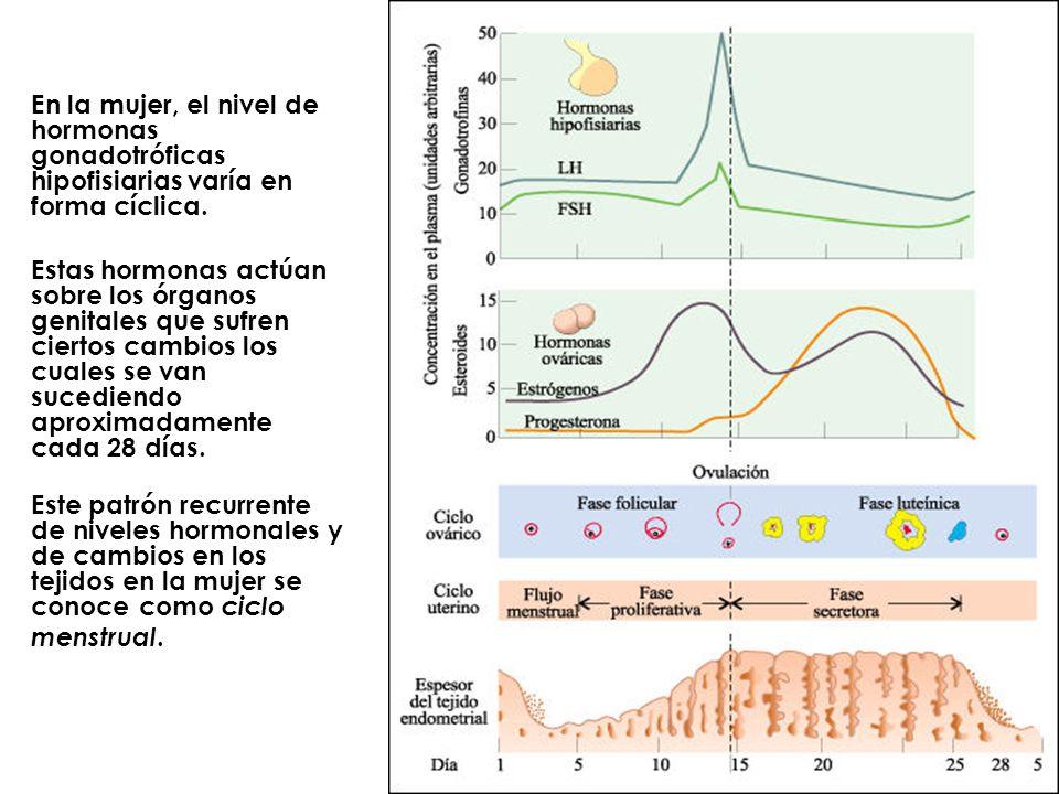 En la mujer, el nivel de hormonas gonadotróficas hipofisiarias varía en forma cíclica. Estas hormonas actúan sobre los órganos genitales que sufren ci