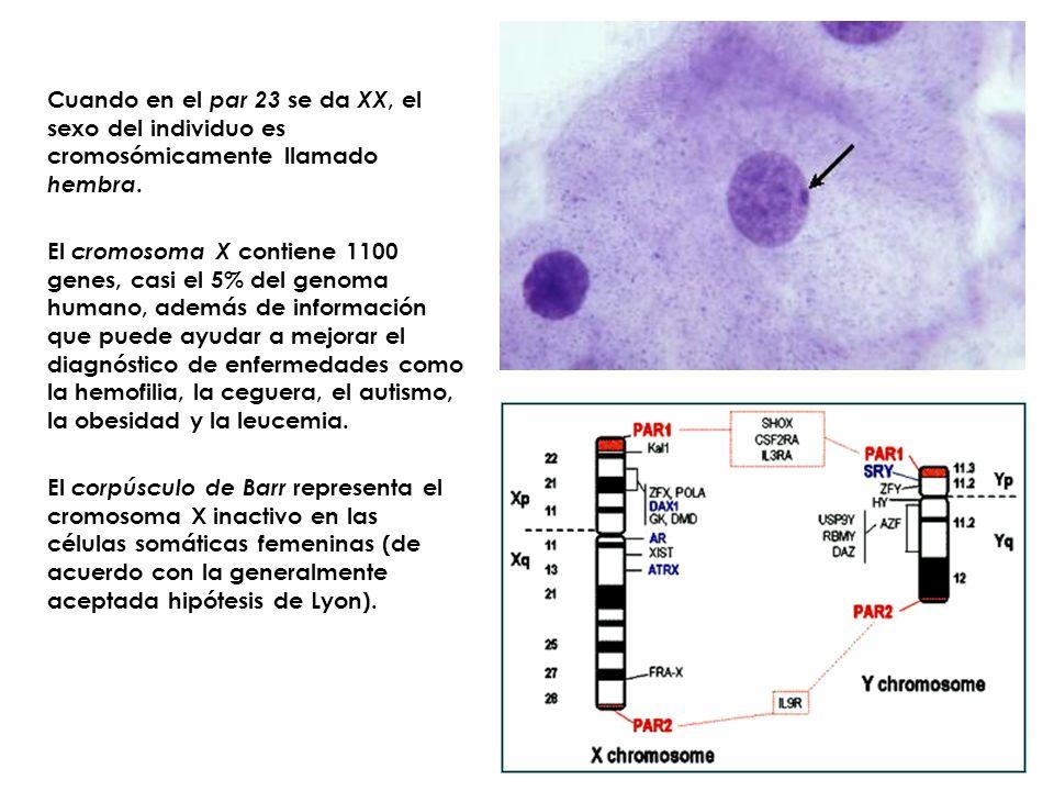 Cuando en el par 23 se da XX, el sexo del individuo es cromosómicamente llamado hembra. El cromosoma X contiene 1100 genes, casi el 5% del genoma huma