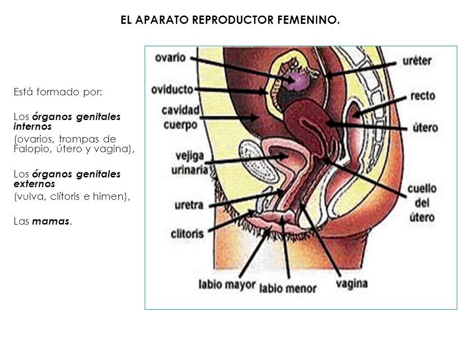 Está formado por: Los órganos genitales internos (ovarios, trompas de Falopio, útero y vagina), Los órganos genitales externos (vulva, clítoris e hime