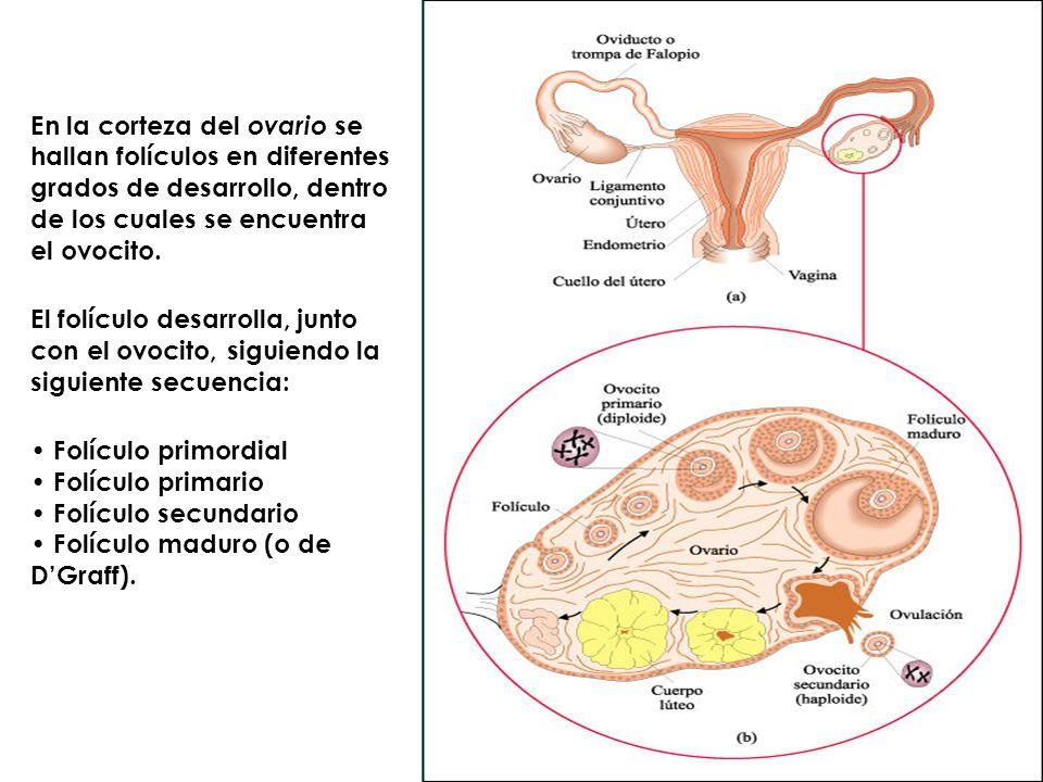 En la corteza del ovario se hallan folículos en diferentes grados de desarrollo, dentro de los cuales se encuentra el ovocito. El folículo desarrolla,