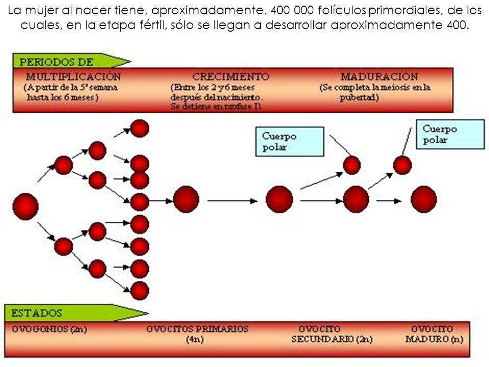 La mujer al nacer tiene, aproximadamente, 400 000 folículos primordiales, de los cuales, en la etapa fértil, sólo se llegan a desarrollar aproximadame