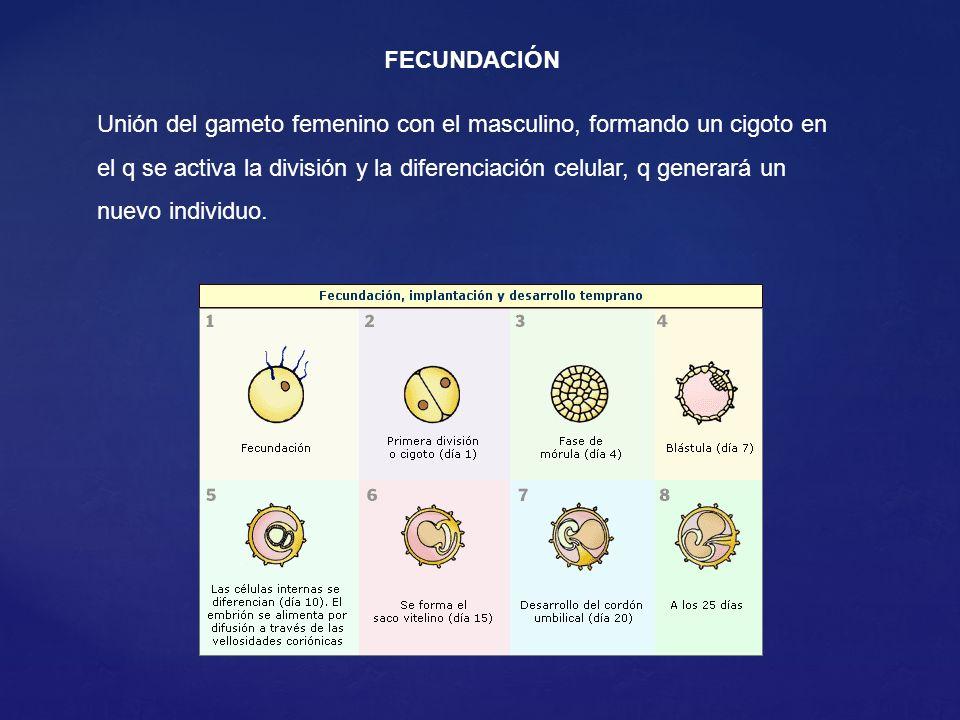 Unión del gameto femenino con el masculino, formando un cigoto en el q se activa la división y la diferenciación celular, q generará un nuevo individuo.