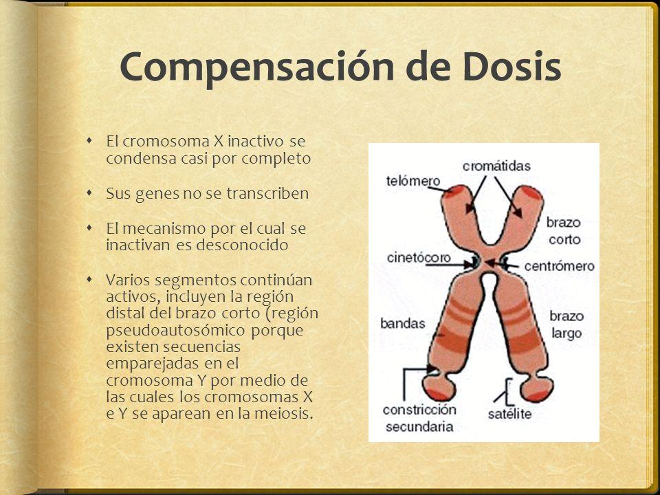 Compensación de Dosis El cromosoma X inactivo se condensa casi por completo Sus genes no se transcriben El mecanismo por el cual se inactivan es desconocido Varios segmentos continúan activos, incluyen la región distal del brazo corto (región pseudoautosómico porque existen secuencias emparejadas en el cromosoma Y por medio de las cuales los cromosomas X e Y se aparean en la meiosis.