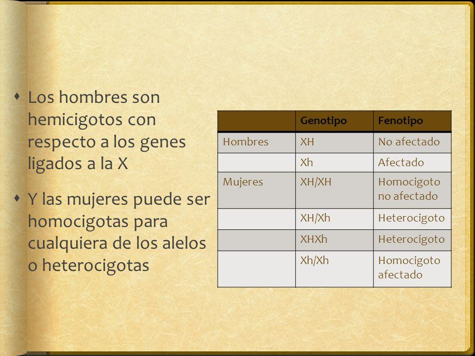 Los hombres son hemicigotos con respecto a los genes ligados a la X Y las mujeres puede ser homocigotas para cualquiera de los alelos o heterocigotas GenotipoFenotipo HombresXHNo afectado XhAfectado MujeresXH/XHHomocigoto no afectado XH/XhHeterocigoto XHXhHeterocigoto Xh/XhHomocigoto afectado