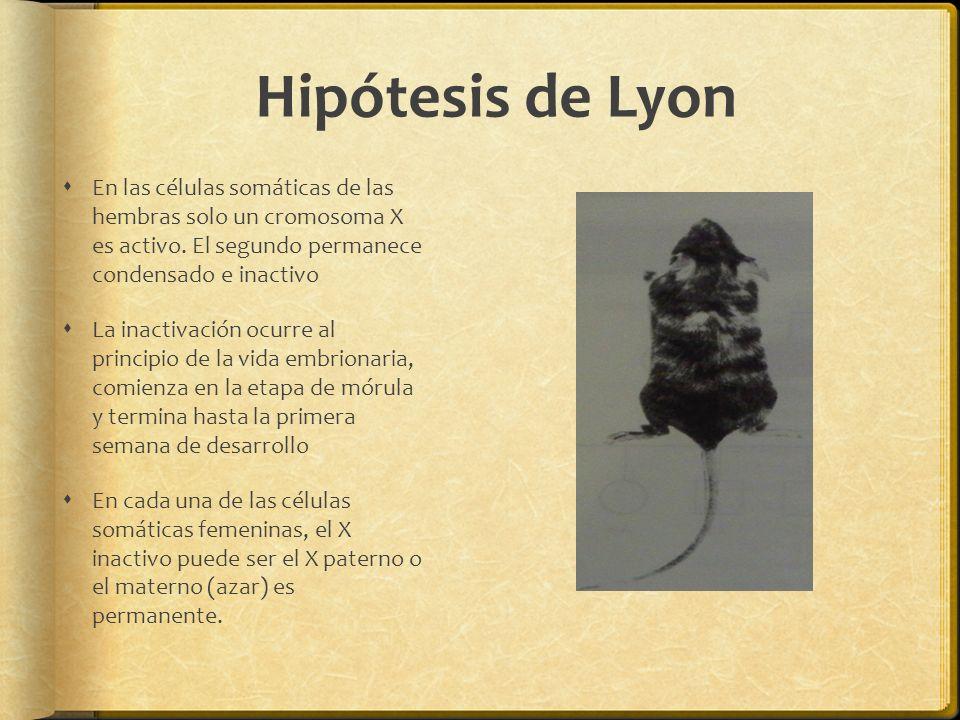 Hipótesis de Lyon En las células somáticas de las hembras solo un cromosoma X es activo. El segundo permanece condensado e inactivo La inactivación oc