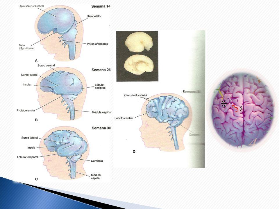 PATOLOGÍAS: DIFERENCIAS Mayor incidencia de prosopagnosia Mayor incidencia de afasia paradójica(cruzada), y, en general, de cuadros afásicos Las malformaciones arterio-venosas eran más frecuentes en el lado derecho del cerebro del varón y en el lado izquierdo del cerebro de la mujer.
