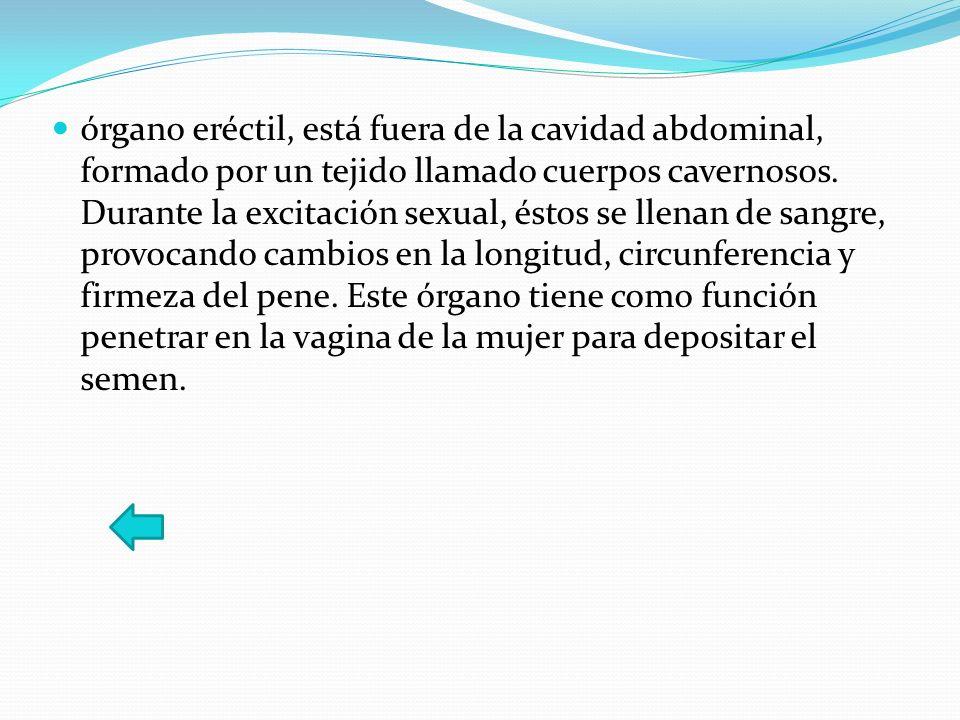 órgano eréctil, está fuera de la cavidad abdominal, formado por un tejido llamado cuerpos cavernosos. Durante la excitación sexual, éstos se llenan de