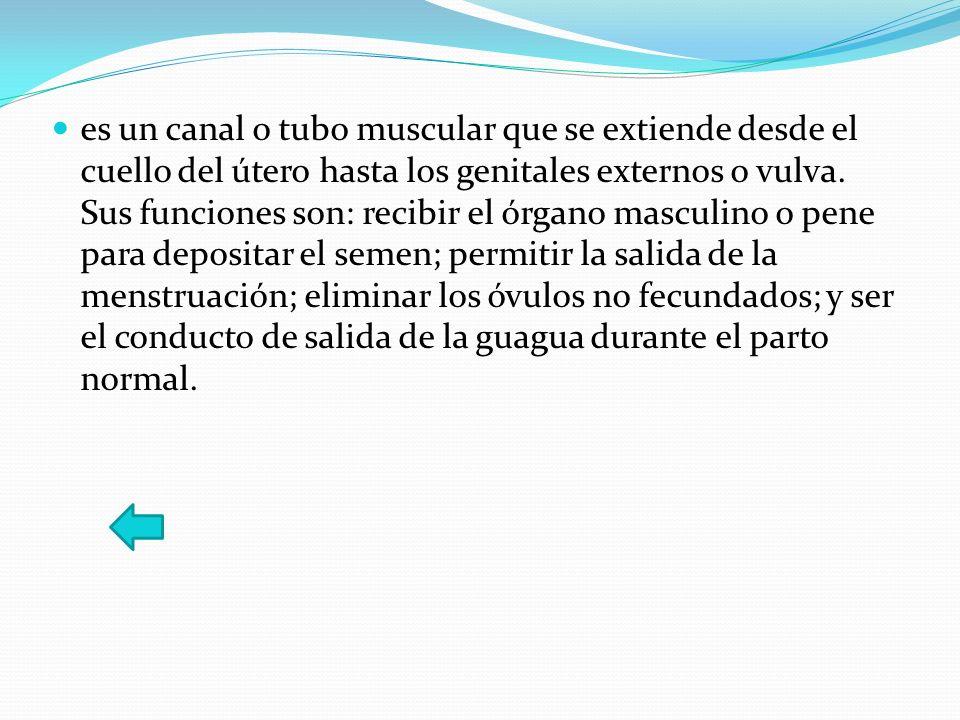 es un canal o tubo muscular que se extiende desde el cuello del útero hasta los genitales externos o vulva. Sus funciones son: recibir el órgano mascu