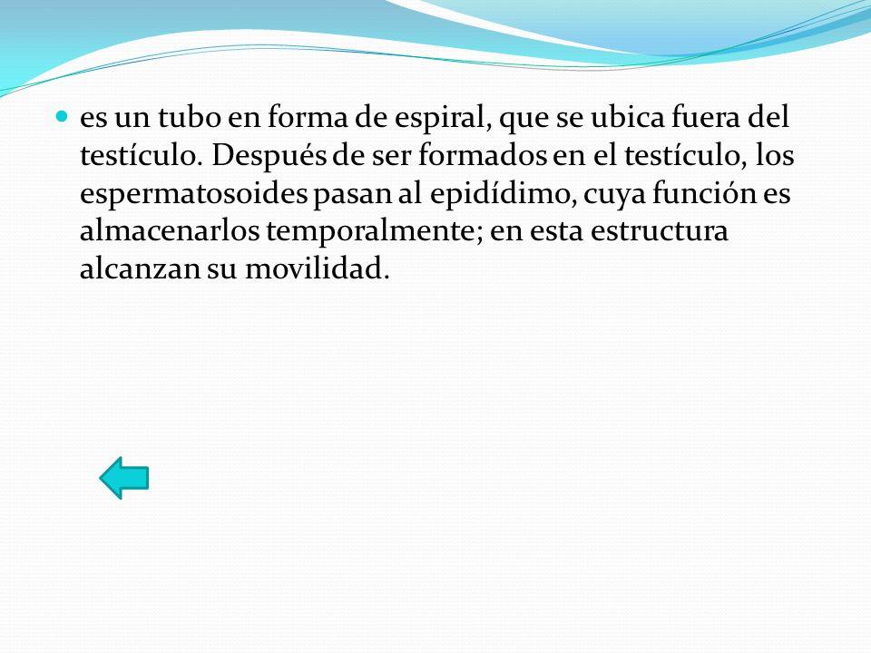 es un tubo en forma de espiral, que se ubica fuera del testículo. Después de ser formados en el testículo, los espermatosoides pasan al epidídimo, cuy