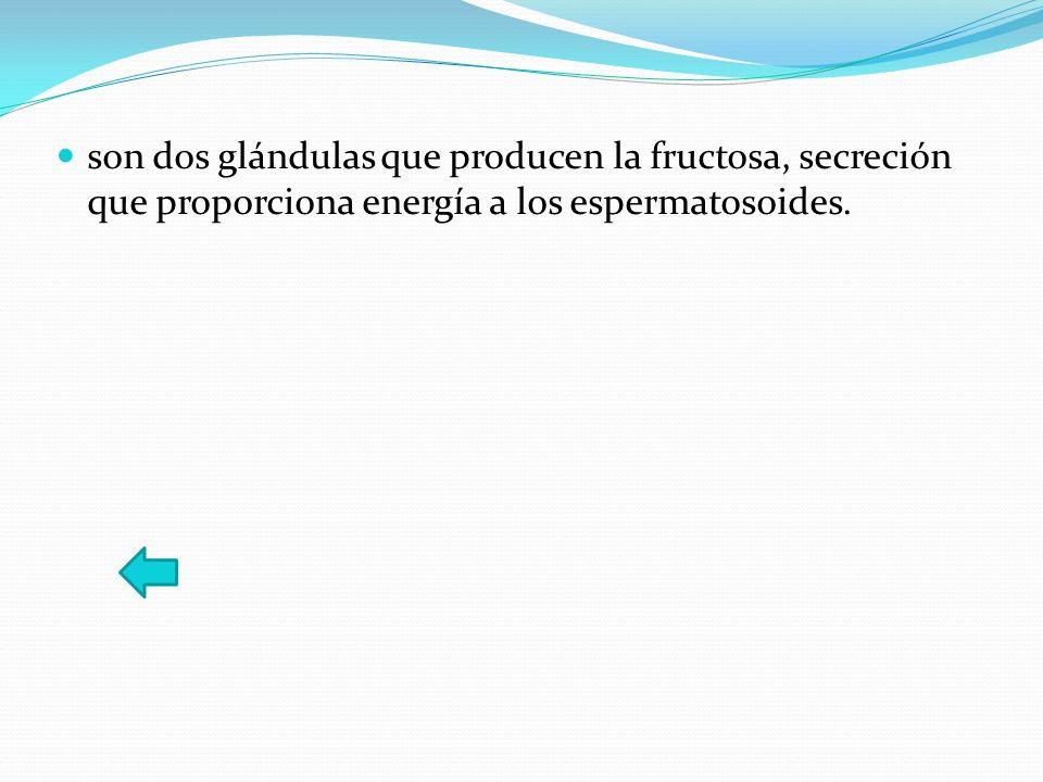 son dos glándulas que producen la fructosa, secreción que proporciona energía a los espermatosoides.