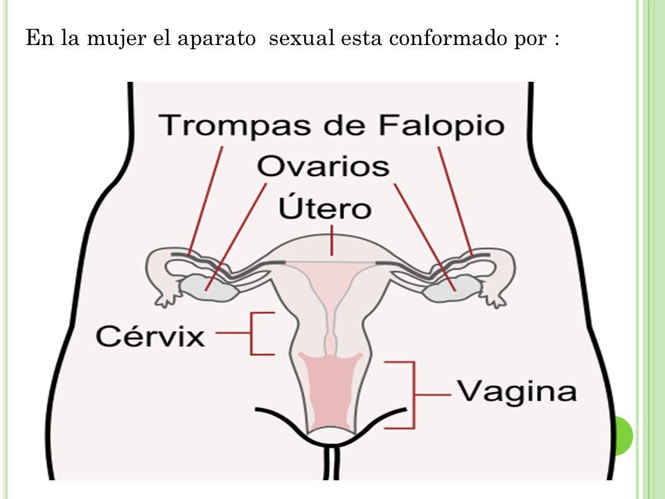 En la mujer el aparato sexual esta conformado por :