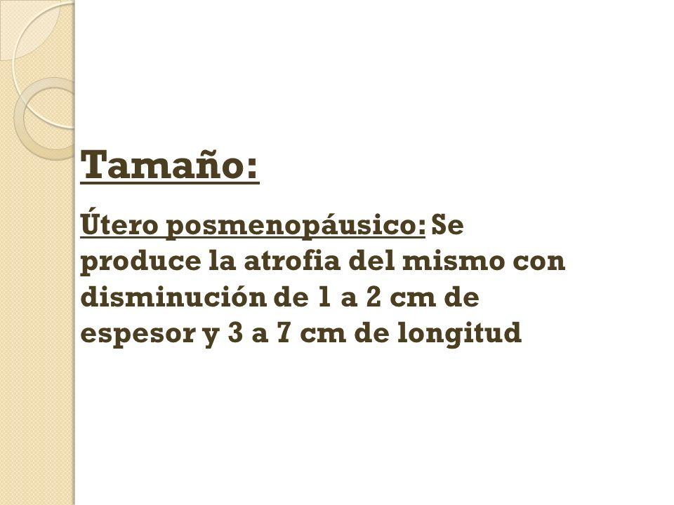Tamaño: Útero posmenopáusico: Se produce la atrofia del mismo con disminución de 1 a 2 cm de espesor y 3 a 7 cm de longitud
