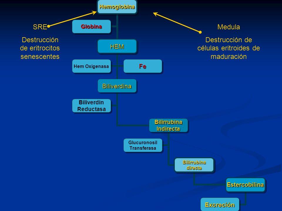 Hemoglobina HEM Biliverdina BilirrubinaIndirecta Bilirrubinadirecta Estercobilina Excreción Glucuronosil Transferasa Biliverdin Reductasa Hem Oxigenas