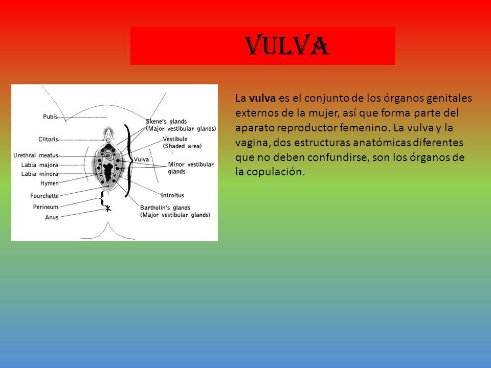 VULVA La vulva es el conjunto de los órganos genitales externos de la mujer, así que forma parte del aparato reproductor femenino.