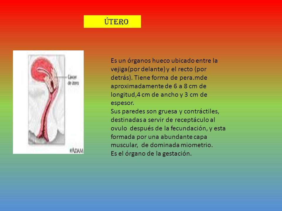 , Es un órganos hueco ubicado entre la vejiga(por delante) y el recto (por detrás). Tiene forma de pera.mde aproximadamente de 6 a 8 cm de longitud,4