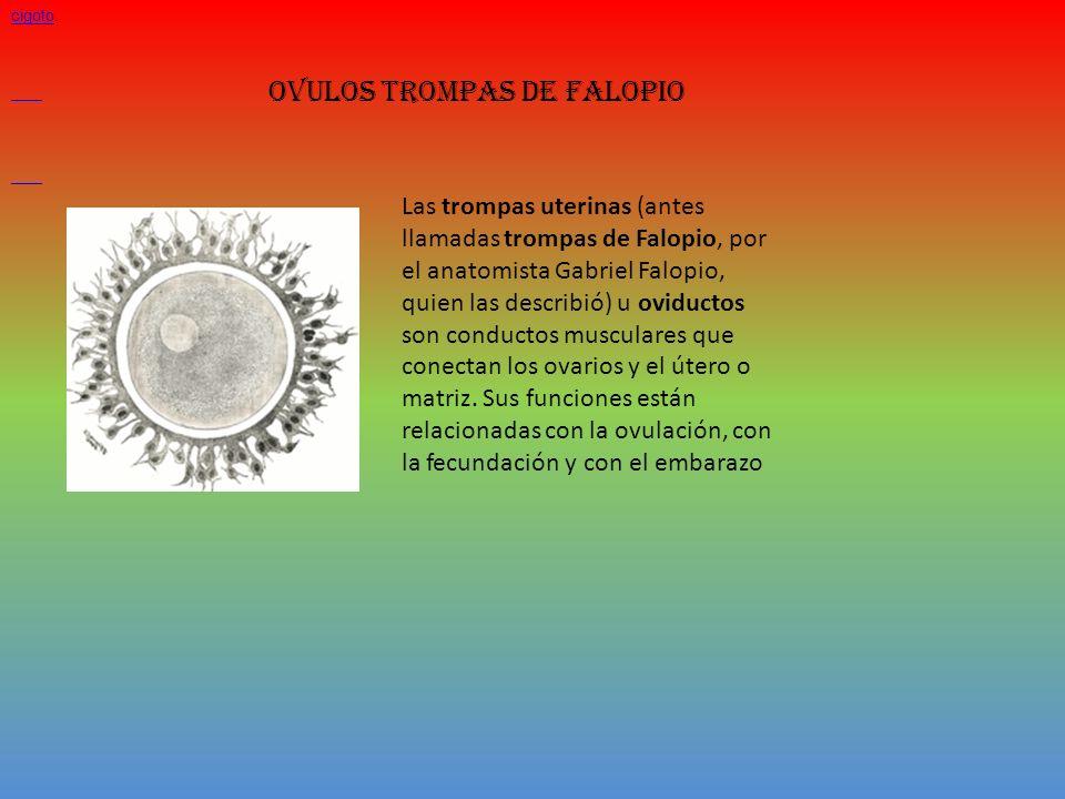 OVULOS TROMPAS DE FALOPIO Los óvulos son las células sexuales femeninas. Son células grandes, esféricas e inmóviles. Desde la pubertad, cada 28 días a