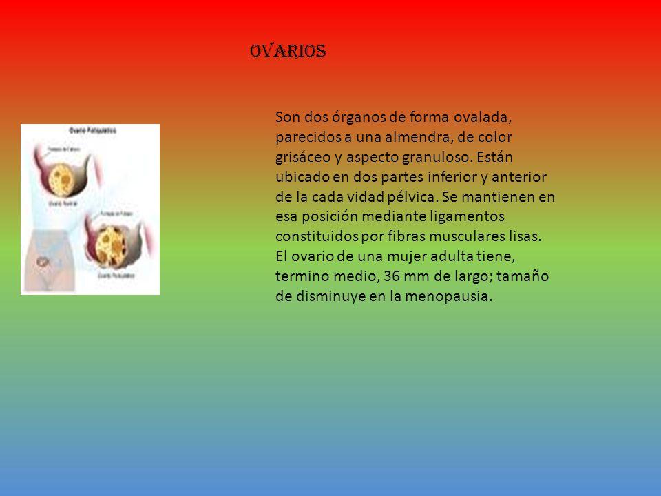 ovarios Son dos órganos de forma ovalada, parecidos a una almendra, de color grisáceo y aspecto granuloso.