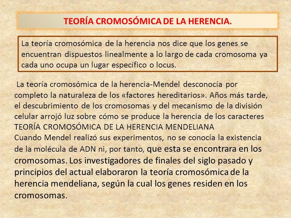 TEORÍA CROMOSÓMICA DE LA HERENCIA. La teoría cromosómica de la herencia nos dice que los genes se encuentran dispuestos linealmente a lo largo de cada
