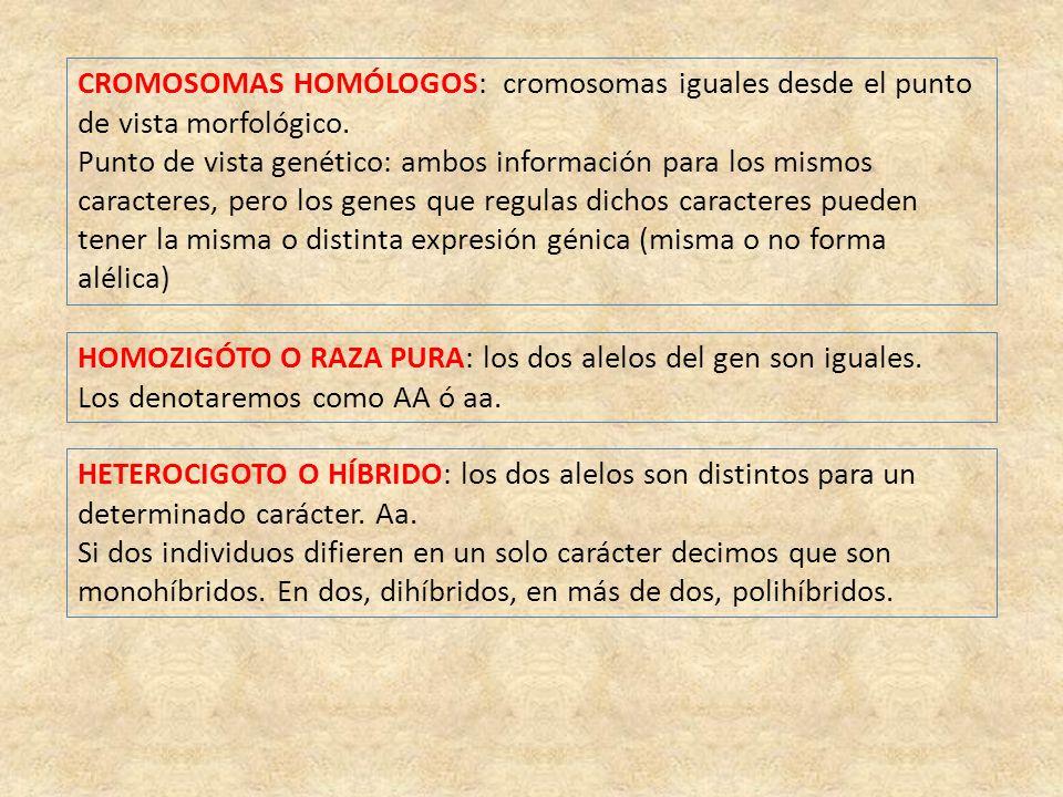 CROMOSOMAS HOMÓLOGOS: cromosomas iguales desde el punto de vista morfológico. Punto de vista genético: ambos información para los mismos caracteres, p