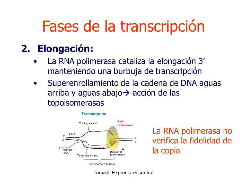 Tema 3: Expresión y control Fases de la transcripción 2.Elongación: La RNA polimerasa cataliza la elongación 3 manteniendo una burbuja de transcripció