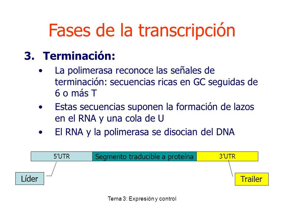Tema 3: Expresión y control Fases de la transcripción 3.Terminación: La polimerasa reconoce las señales de terminación: secuencias ricas en GC seguida