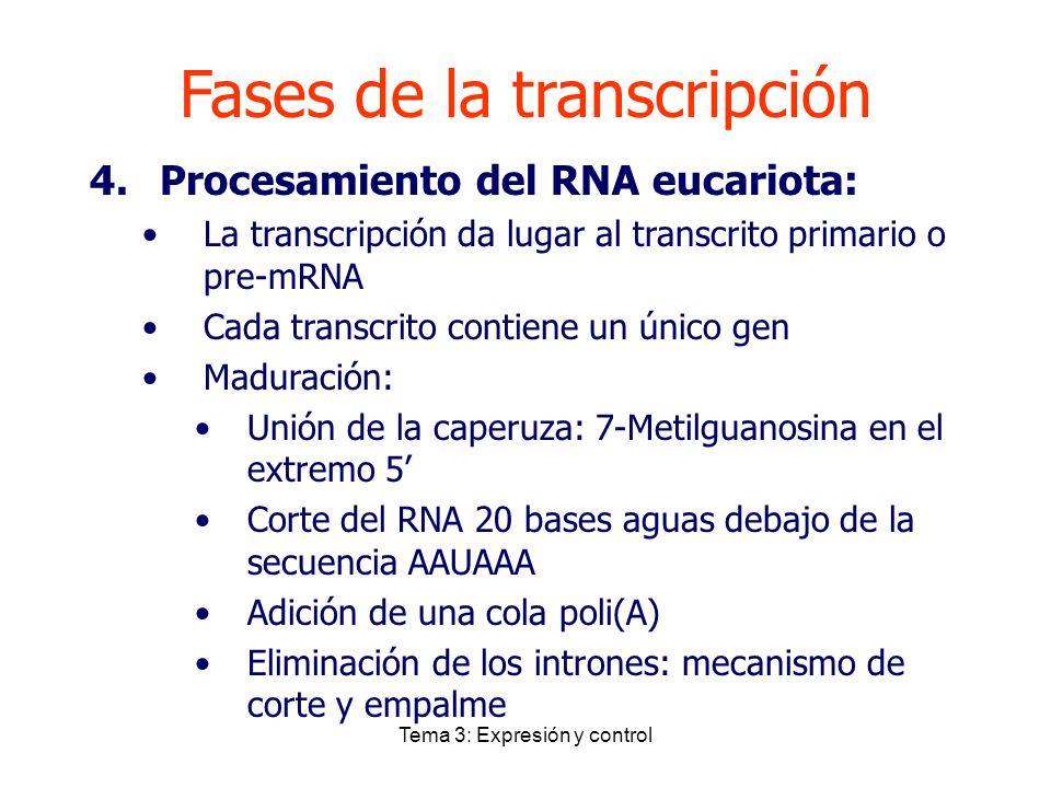 Tema 3: Expresión y control Fases de la transcripción 4.Procesamiento del RNA eucariota: La transcripción da lugar al transcrito primario o pre-mRNA C