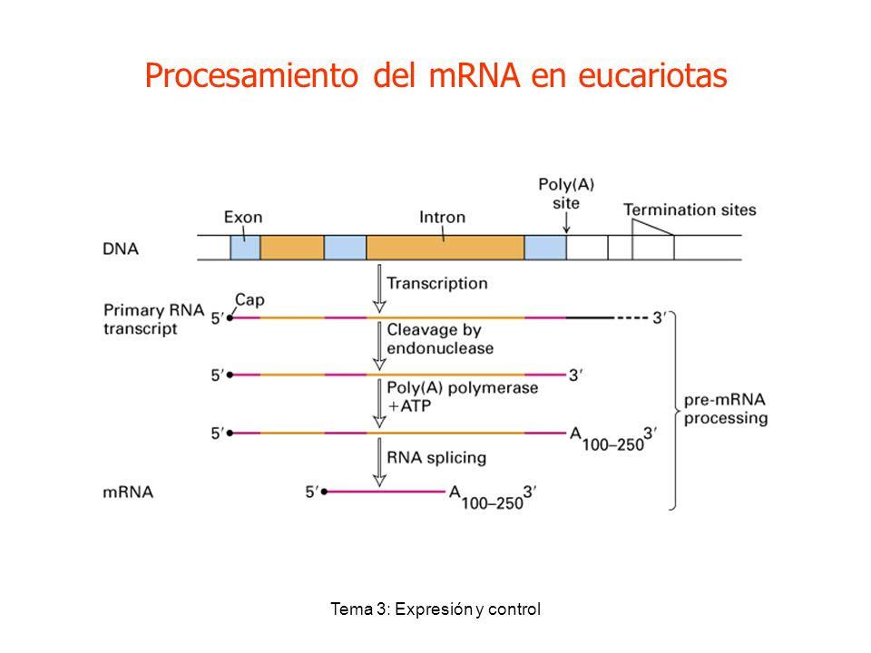 Tema 3: Expresión y control Procesamiento del mRNA en eucariotas