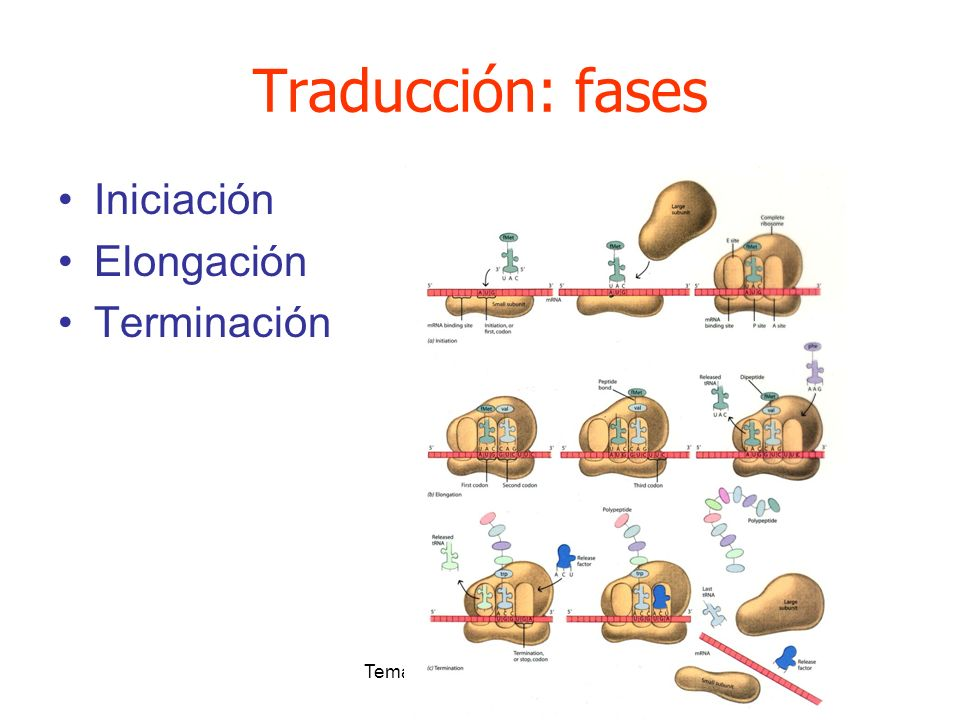 Tema 3: Expresión y control Traducción: fases Iniciación Elongación Terminación