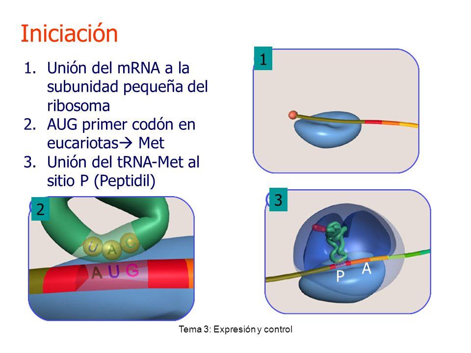 Tema 3: Expresión y control Iniciación 1.Unión del mRNA a la subunidad pequeña del ribosoma 2.AUG primer codón en eucariotas Met 3.Unión del tRNA-Met