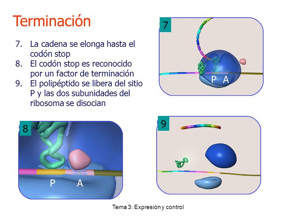 Tema 3: Expresión y control Terminación 7 8 9 7.La cadena se elonga hasta el codón stop 8.El codón stop es reconocido por un factor de terminación 9.E