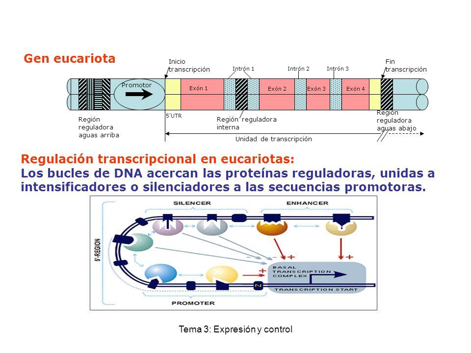Tema 3: Expresión y control Regulación transcripcional en eucariotas: Los bucles de DNA acercan las proteínas reguladoras, unidas a intensificadores o