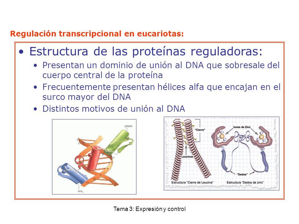 Tema 3: Expresión y control Estructura de las proteínas reguladoras: Presentan un dominio de unión al DNA que sobresale del cuerpo central de la prote