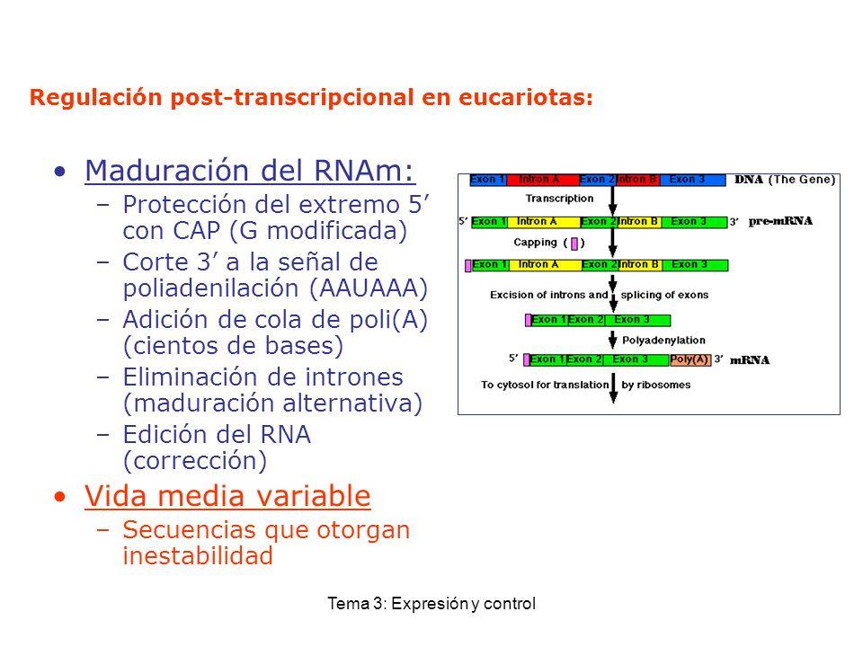 Tema 3: Expresión y control Regulación post-transcripcional en eucariotas: Maduración del RNAm: –Protección del extremo 5 con CAP (G modificada) –Cort