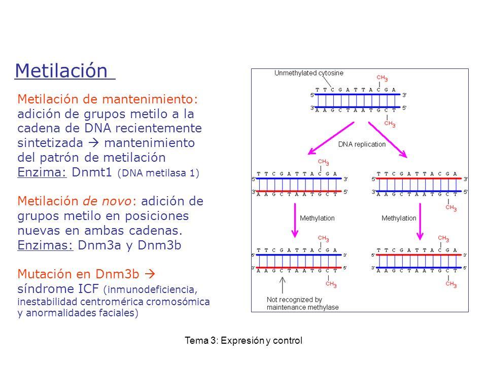 Tema 3: Expresión y control Metilación Metilación de mantenimiento: adición de grupos metilo a la cadena de DNA recientemente sintetizada mantenimient