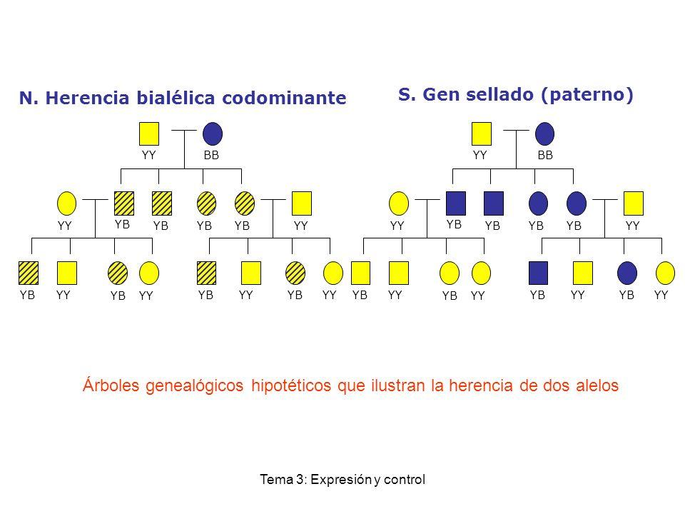 Tema 3: Expresión y control Árboles genealógicos hipotéticos que ilustran la herencia de dos alelos YYBB YB YY YB YY YB YYBB YB YY YB YY YB N. Herenci