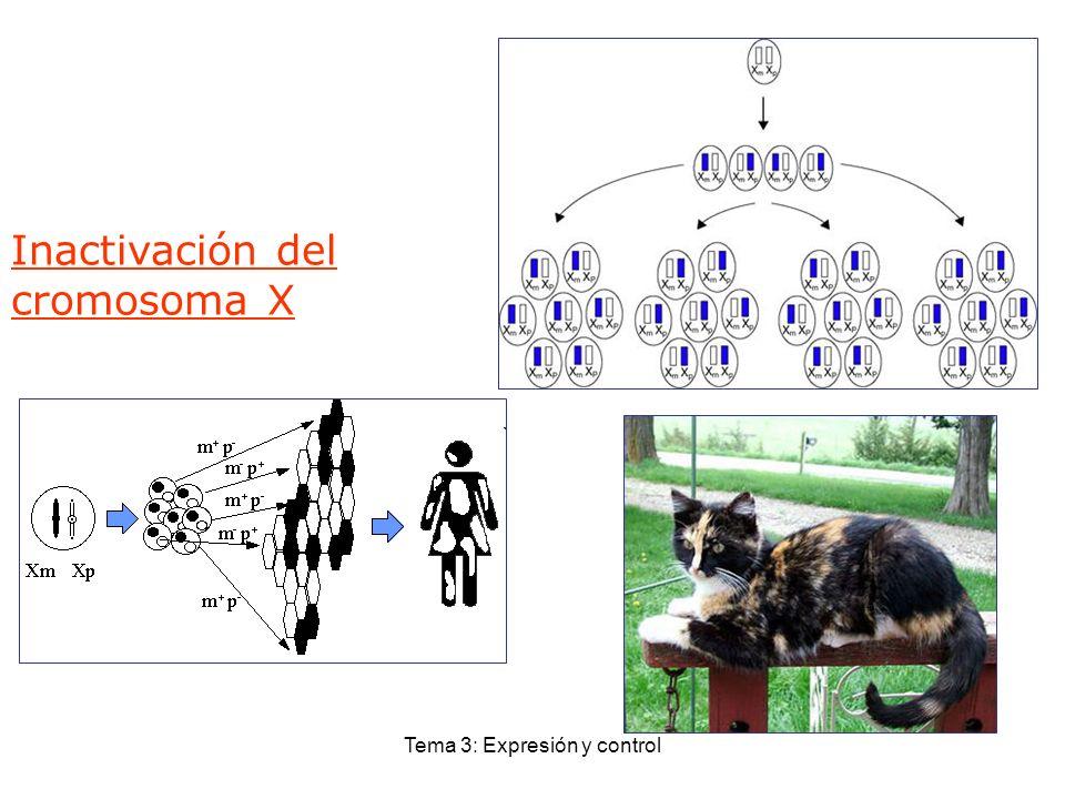 Tema 3: Expresión y control Inactivación del cromosoma X