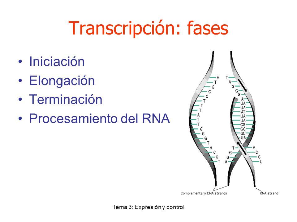 Tema 3: Expresión y control Transcripción: fases Iniciación Elongación Terminación Procesamiento del RNA