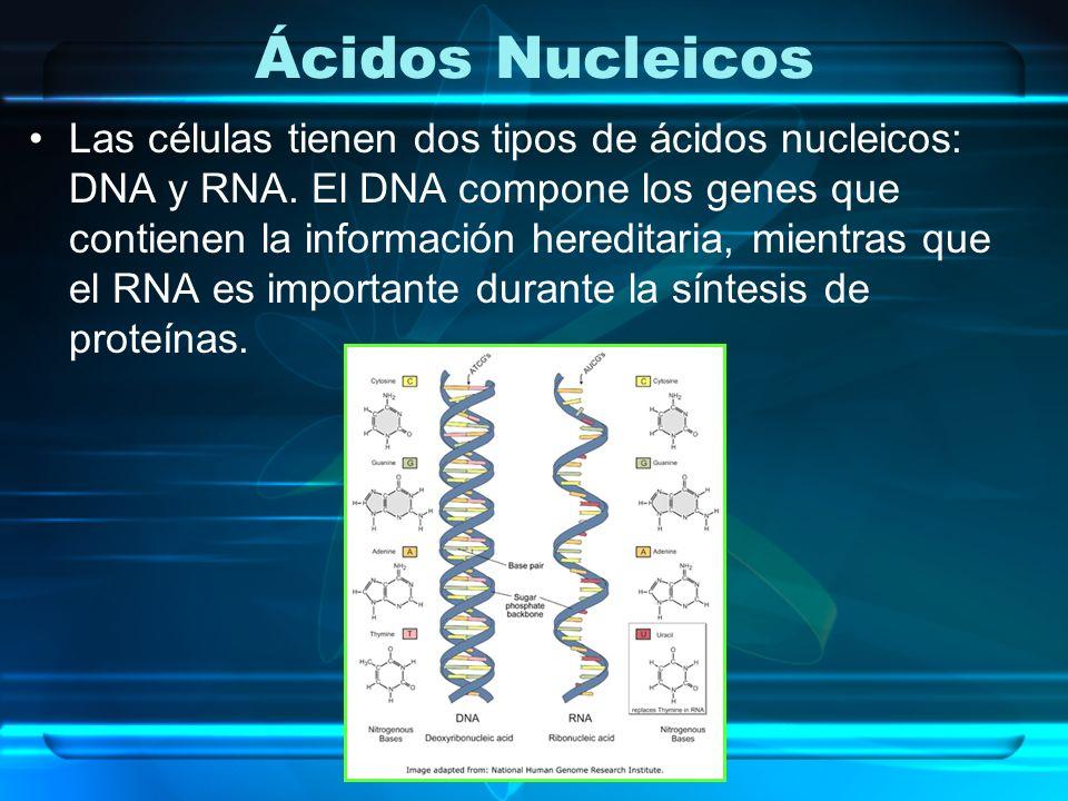Ácidos Nucleicos Las células tienen dos tipos de ácidos nucleicos: DNA y RNA. El DNA compone los genes que contienen la información hereditaria, mient