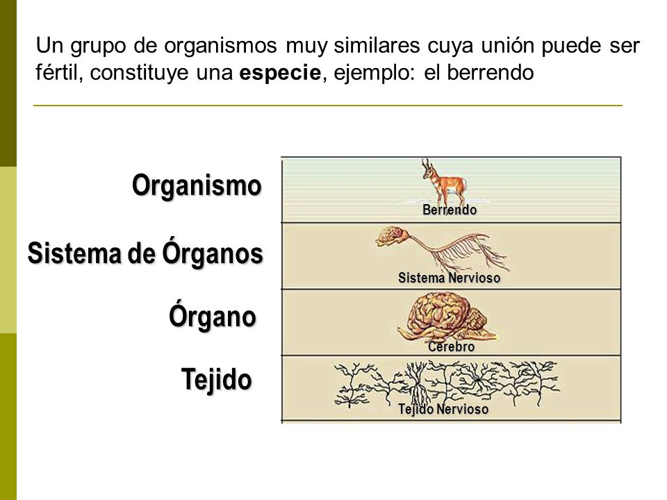 Tejido Tejido Nervioso Cerebro Sistema Nervioso Berrendo Órgano Sistema de Órganos Organismo Un grupo de organismos muy similares cuya unión puede ser