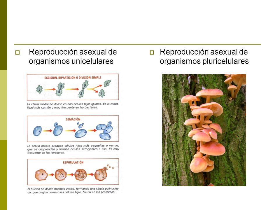 Reproducción asexual de organismos unicelulares Reproducción asexual de organismos pluricelulares