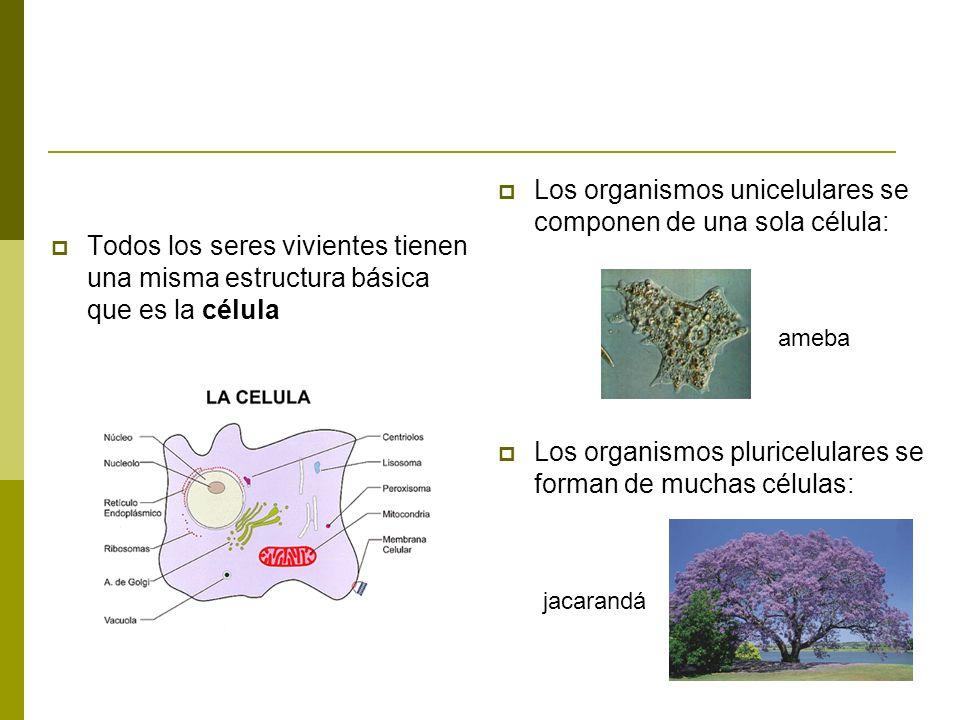 Todos los seres vivientes tienen una misma estructura básica que es la célula Los organismos unicelulares se componen de una sola célula: ameba Los or