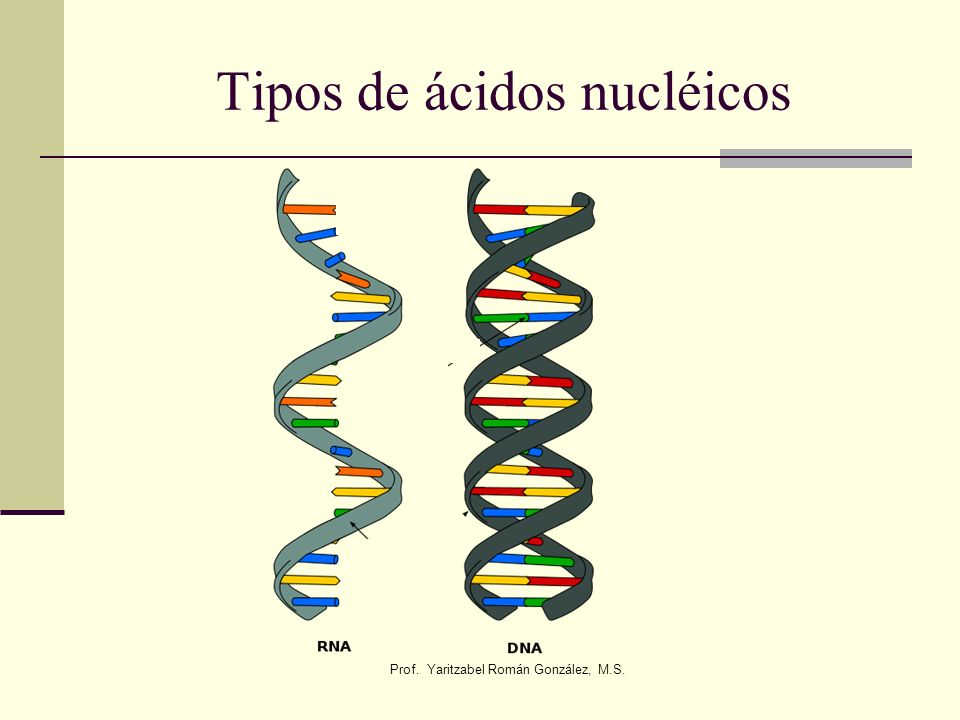 Prof. Yaritzabel Román González, M.S. Tipos de ácidos nucléicos