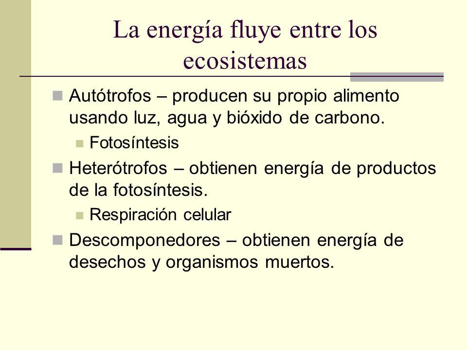 La energía fluye entre los ecosistemas Autótrofos – producen su propio alimento usando luz, agua y bióxido de carbono. Fotosíntesis Heterótrofos – obt