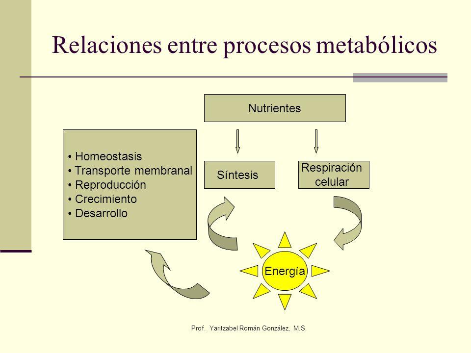 Prof. Yaritzabel Román González, M.S. Relaciones entre procesos metabólicos Nutrientes Síntesis Respiración celular Energía Homeostasis Transporte mem