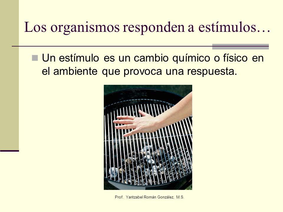 Prof. Yaritzabel Román González, M.S. Los organismos responden a estímulos… Un estímulo es un cambio químico o físico en el ambiente que provoca una r