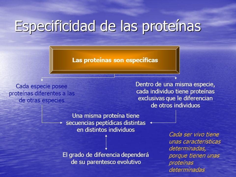 Especificidad de las proteínas Las proteínas son específicas Cada especie posee proteínas diferentes a las de otras especies Dentro de una misma especie, cada individuo tiene proteínas exclusivas que le diferencian de otros individuos Una misma proteína tiene secuencias peptídicas distintas en distintos individuos El grado de diferencia dependerá de su parentesco evolutivo Cada ser vivo tiene unas características determinadas, porque tienen unas proteínas determinadas