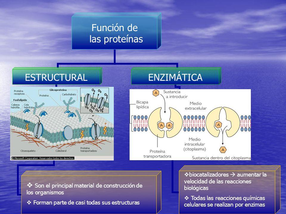 Función de las proteínas ESTRUCTURALENZIMÁTICA Son el principal material de construcción de los organismos Forman parte de casi todas sus estructuras biocatalizadores aumentar la velocidad de las reacciones biológicas Todas las reacciones químicas celulares se realizan por enzimas