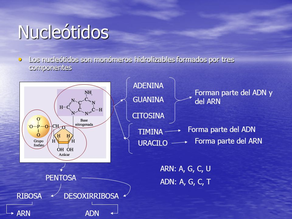 Nucleótidos Los nucleótidos son monómeros hidrolizables formados por tres componentes Los nucleótidos son monómeros hidrolizables formados por tres componentes PENTOSA RIBOSA ARN DESOXIRRIBOSA ADN ADENINA GUANINA CITOSINA Forman parte del ADN y del ARN TIMINA Forma parte del ADN URACILO Forma parte del ARN ARN: A, G, C, U ADN: A, G, C, T