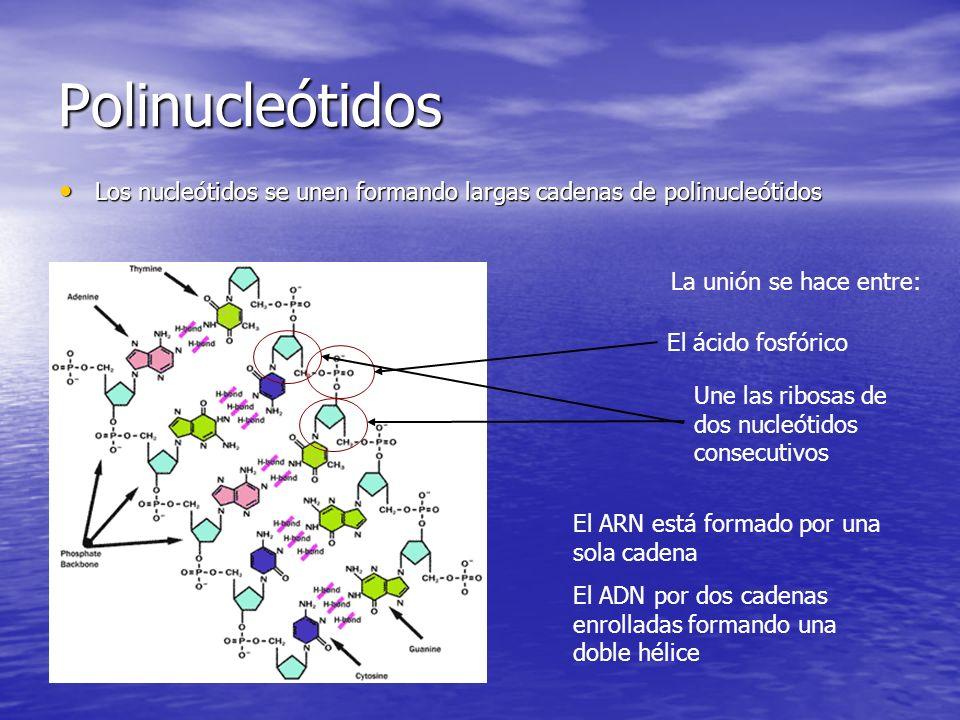 Polinucleótidos Los nucleótidos se unen formando largas cadenas de polinucleótidos Los nucleótidos se unen formando largas cadenas de polinucleótidos La unión se hace entre: El ácido fosfórico Une las ribosas de dos nucleótidos consecutivos El ARN está formado por una sola cadena El ADN por dos cadenas enrolladas formando una doble hélice