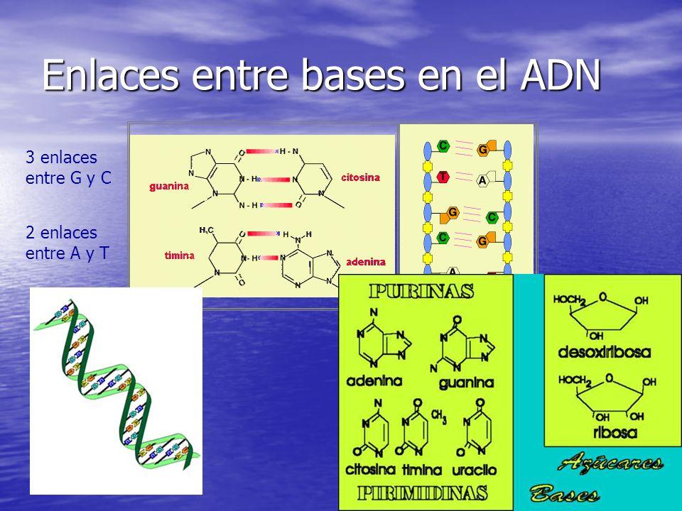 Enlaces entre bases en el ADN 3 enlaces entre G y C 2 enlaces entre A y T
